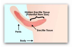 mamelonul penisului)